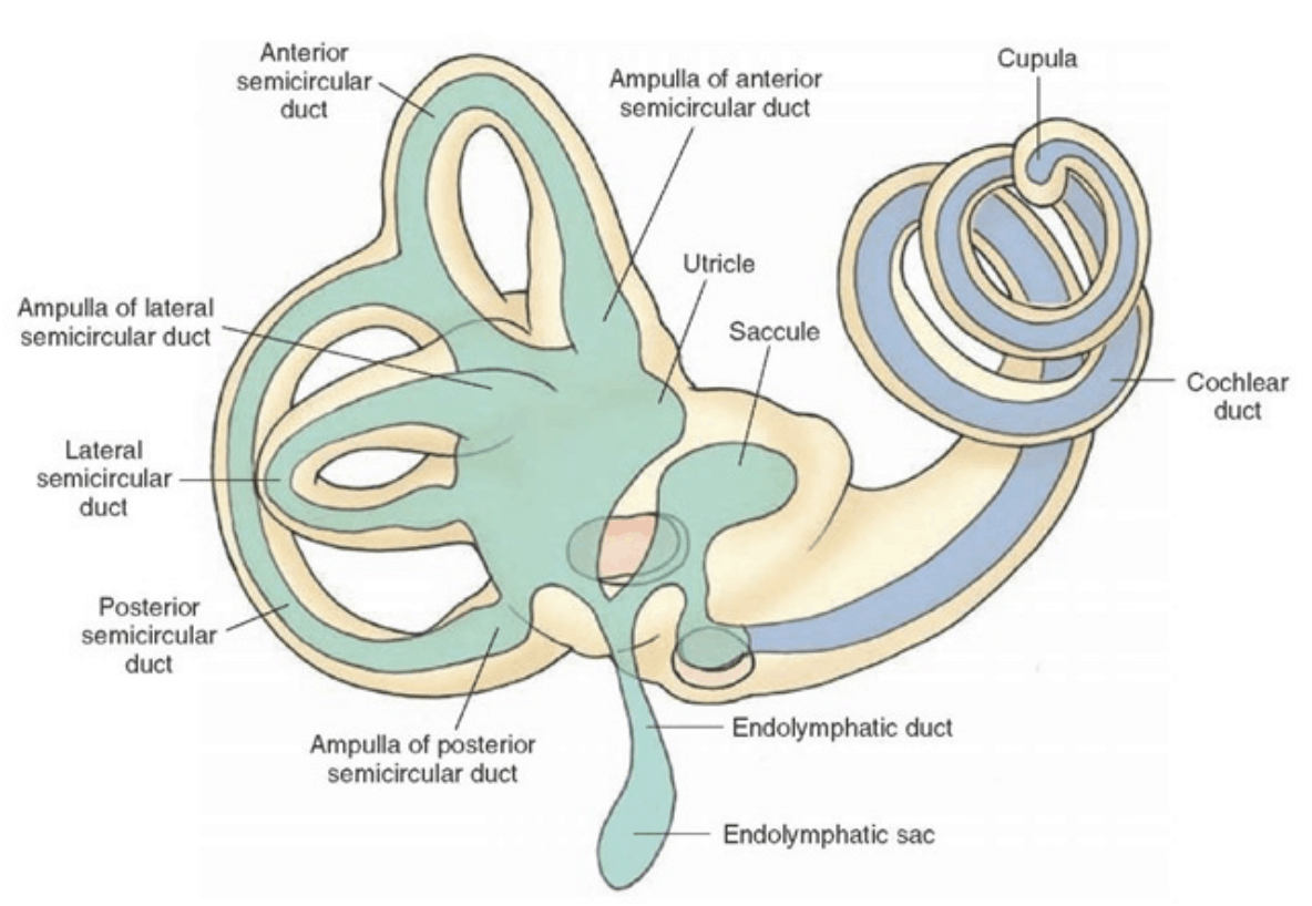 Diagram of the Vestibular System in the inner ear